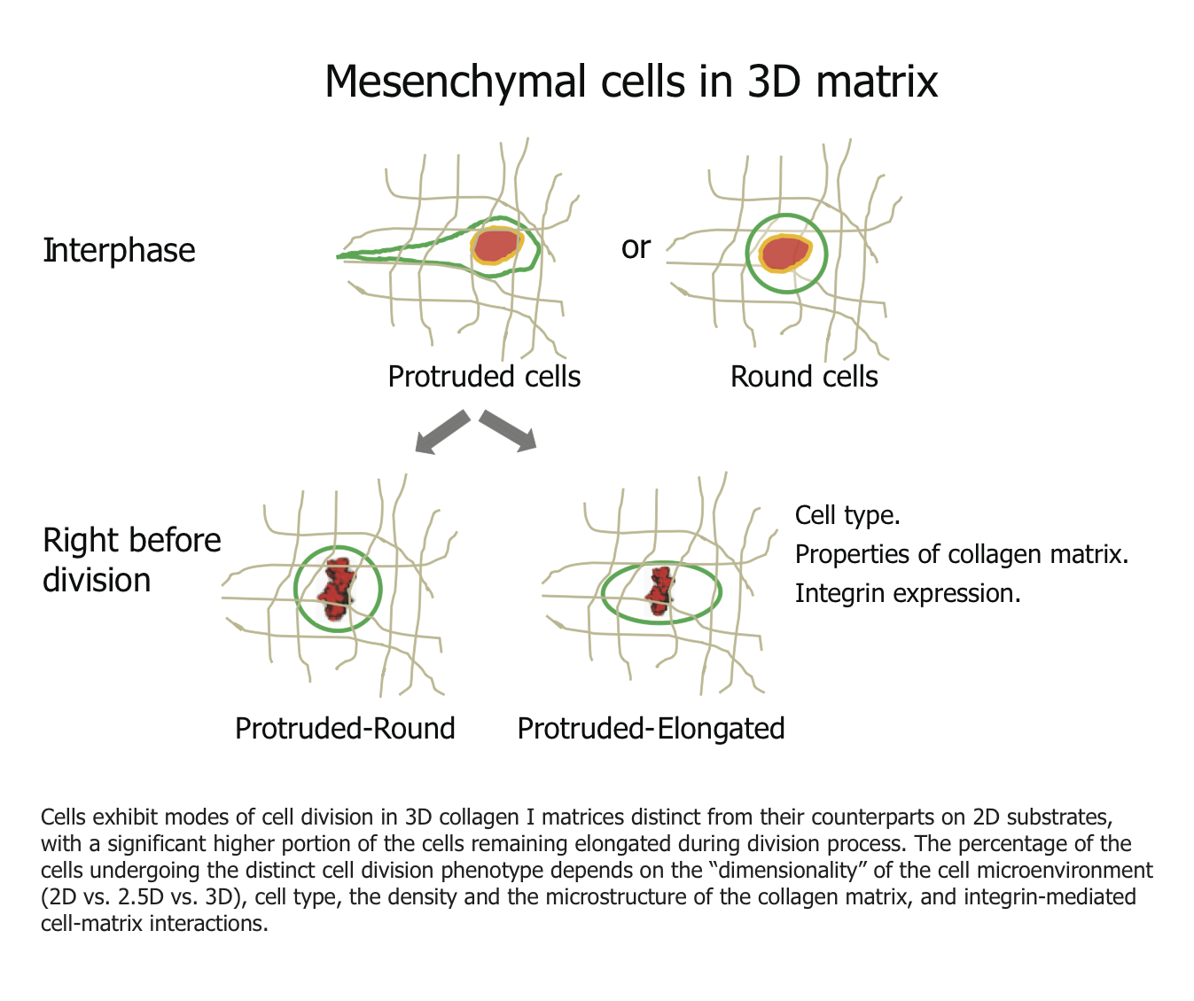 3D-cell-division-For-website-Feb-2014